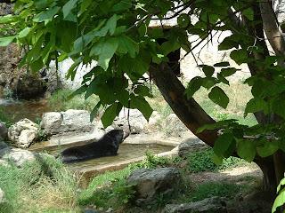 L'ours se rafraichit dans son bassin