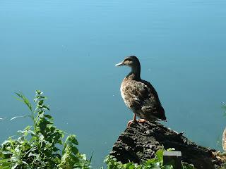 canard perché sur le reste d'un tronc au bord du lac