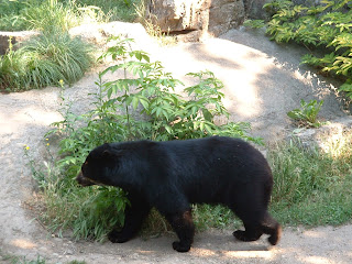 Ours se promenant dans son enclos