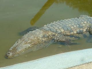 Crocodile dans l'eau de son bassin