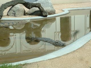 Le crocodile dans son bassin d'eau