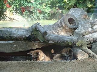 Les deux otocyons se sont réfugiés sous un arbre pour fuir la chaleur