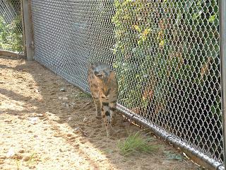 Un serval en marche