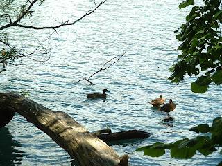 Des canards sur des arbres près du lac