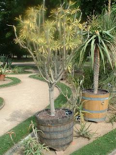 Un petit arbre exotique: senecio sleinia