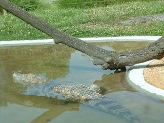 Le crocodile s'immerge dans son bassin