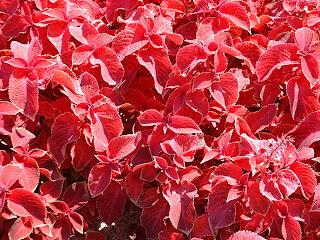 D'autres plantes rouges