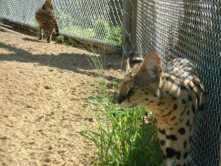 les deux servals dans leur cage