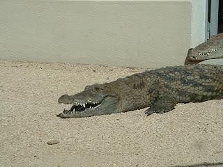 Un crocodile la gueule ouverte