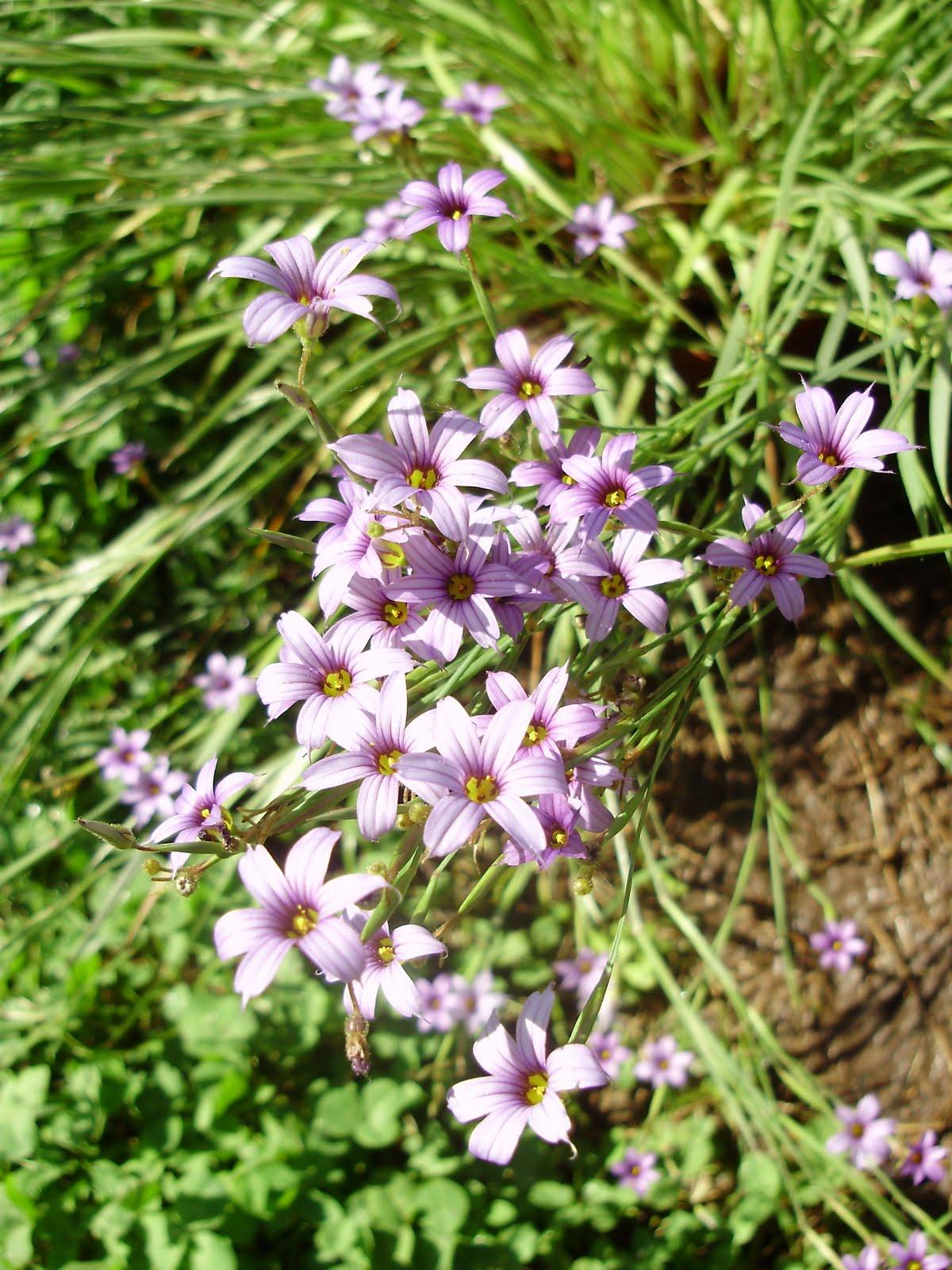 Qinti wasi plantas nativas de argentina sisyrinchium for Vivero plantas nativas