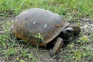 Saving gopher tortoises
