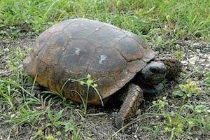 Saving gopher tortoises