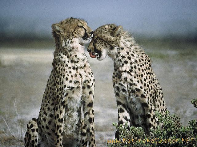 Cheetahs animal wallpaper