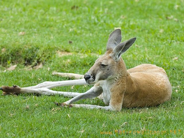 Kangaroo animal wallpaper