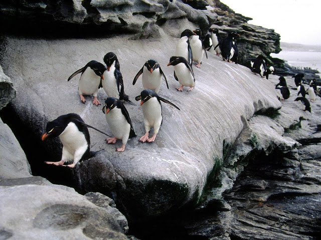 Climbing Penguin Animal Wallpaper