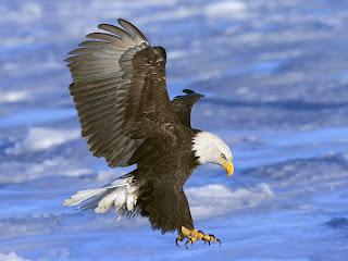 Gambar elang ingin menerkam mangsa