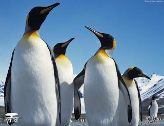 Gambar kawanan pinguin
