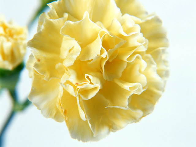 Single Yellow Carnation Flower Wallpaper