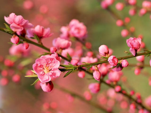 Summer Bloom Cherry Blossom Wallpaper