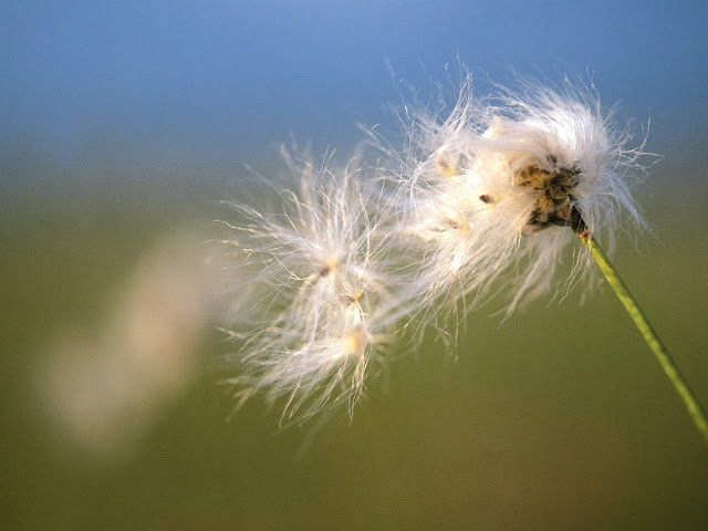 Fall Dandelion Flower Wallpaper