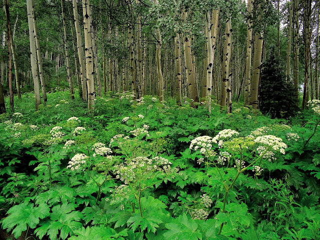 Cow parsnip and quaking aspen colorado