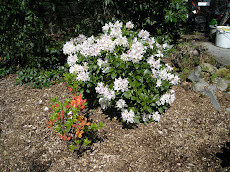 First of my rhododendrons                  season 2009