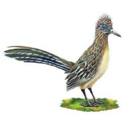 Roadrunner, Geococcyx californianus