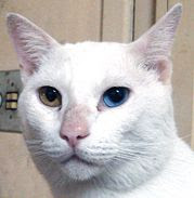 Odd-eyed cat wallpaper