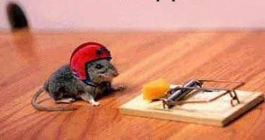 perangkap tikus, rat, tikus bijak, smart rat, rat wear helmet, rat trap, cheese, cheese and rat