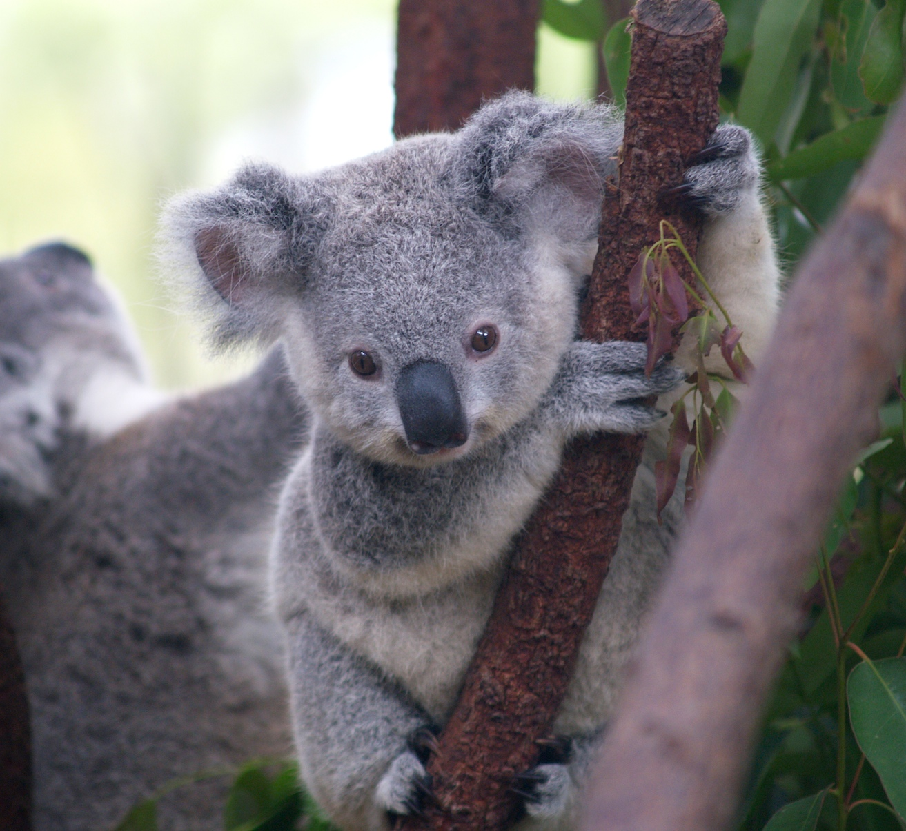 Koalas are one of the cutes animals!!!!! (In my mind)