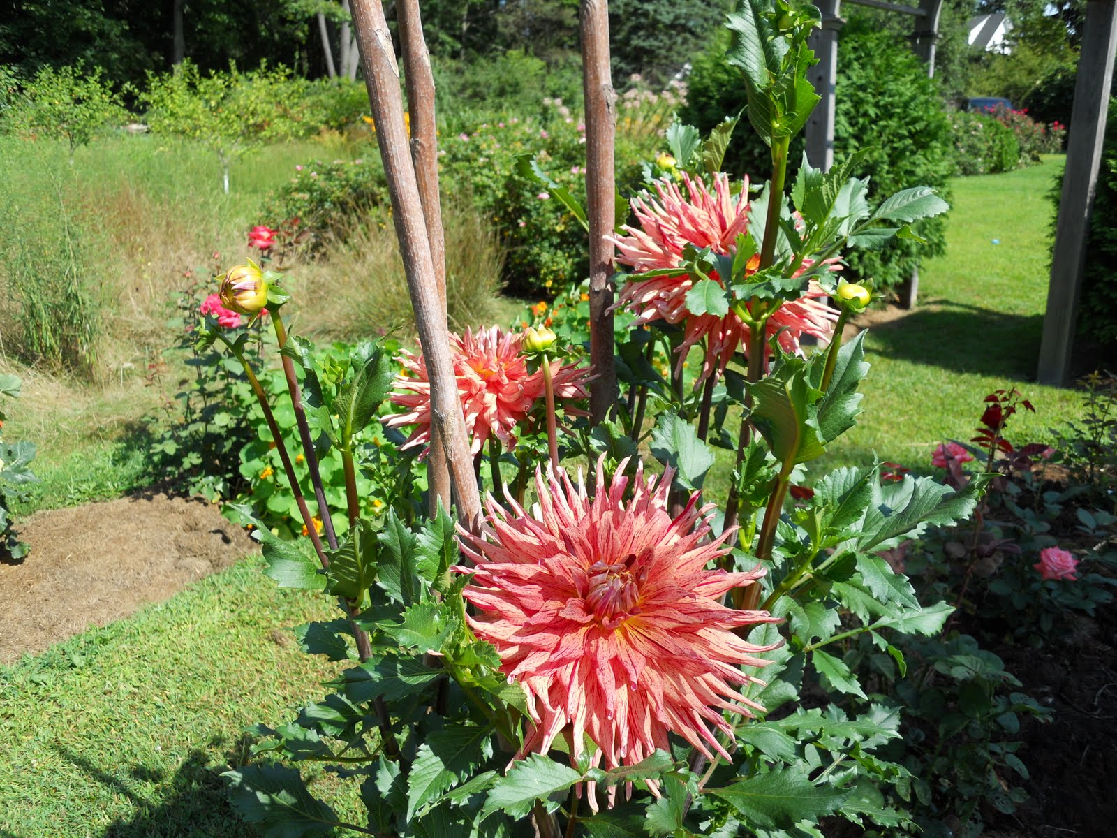 In early May I arranged three Sumac stakes in a tight triangle and planted a single dahlia tuber in its center. Over the course of the summer I\u0027ve looped ... & A Year In The Garden: 2010-08-22