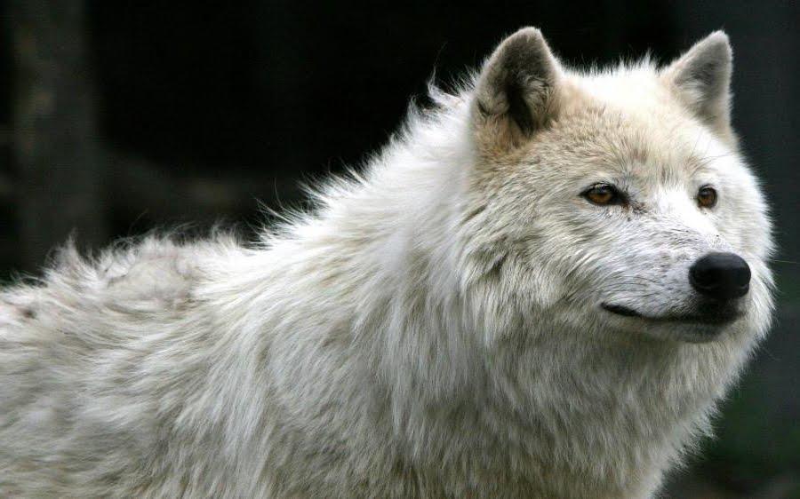 White Wolf ' Eyes