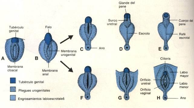 videos de hongos genitales