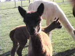 Blessing Ridge Farm's 2010 Baby Alpacas