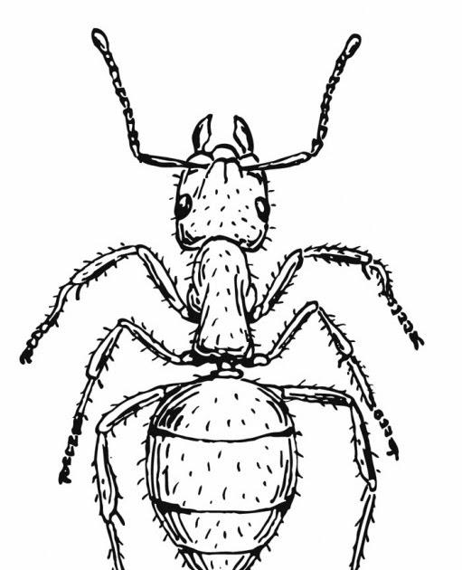 Imagenes para colorear: Hormiga para colorear
