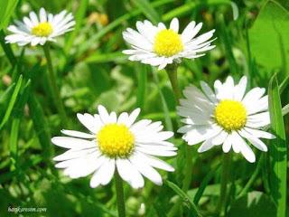 Всичко за цветята! Romashka