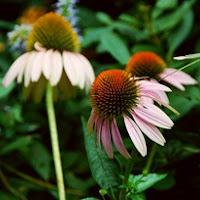 Сухите цветя  Echinacea_thumb