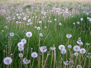 mælkebøtter i græsplænen