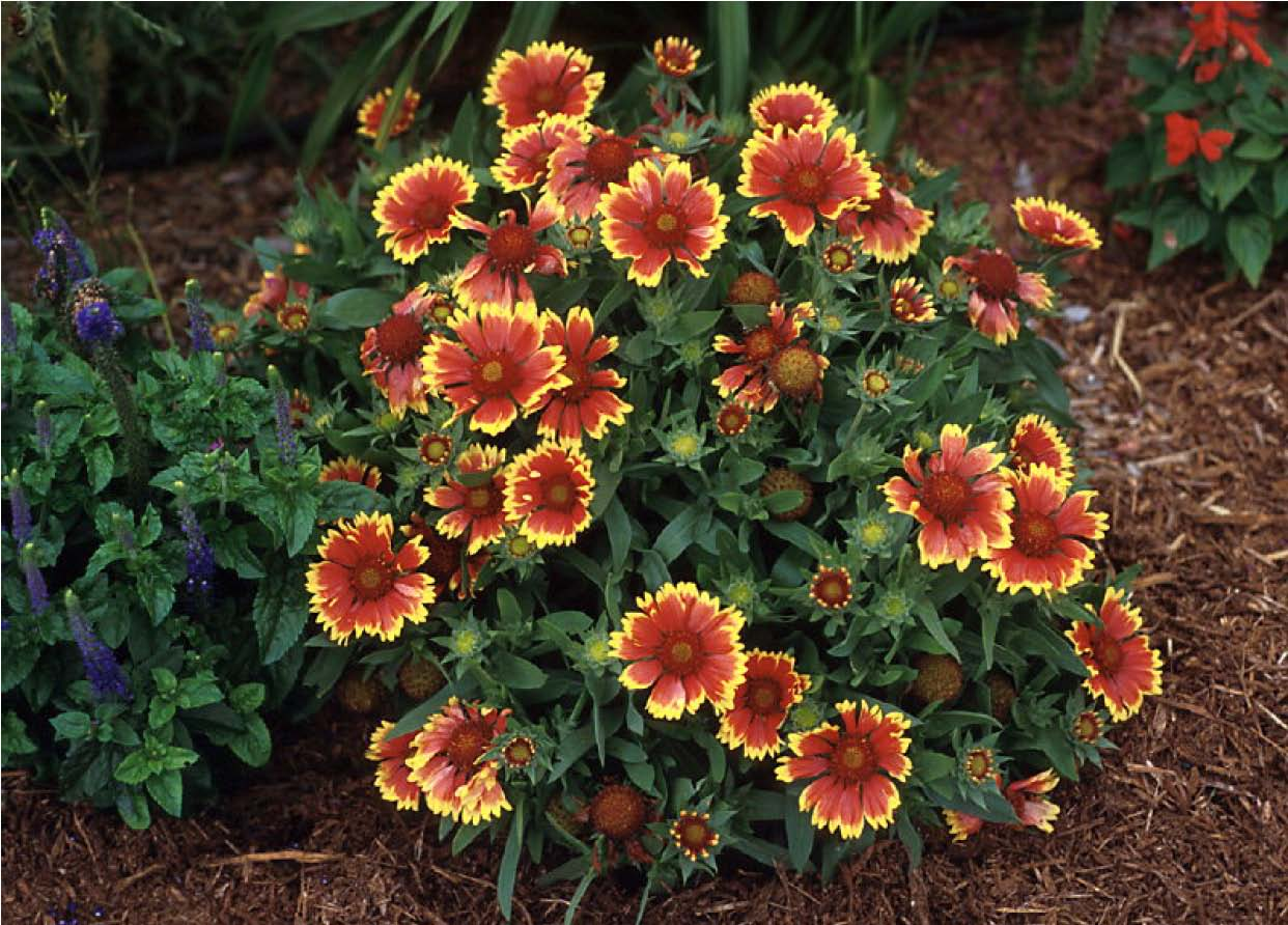Beechwood Landscape Architecture and Construction Goblin Blanket Flower Fea
