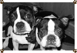 Our Two Boston Terriers Winston & Tucker
