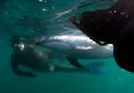 Rescate del un delfin oscuro 2009