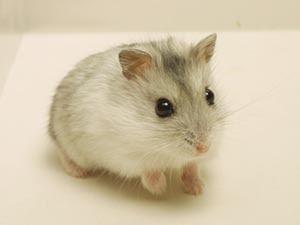 Cute Baby Dwarf Hamsters