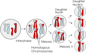 Haploid and Diploid cells in humans | letmeget.