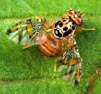 Mediterranean Fruit Fly