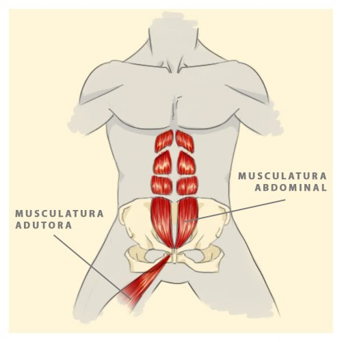 musculos abdominal: