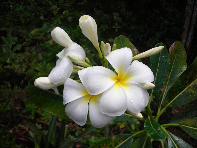 GUAM PLUMERIA. GUAM PLUMERIA The sweet essence of PARADISE (guam trip march )