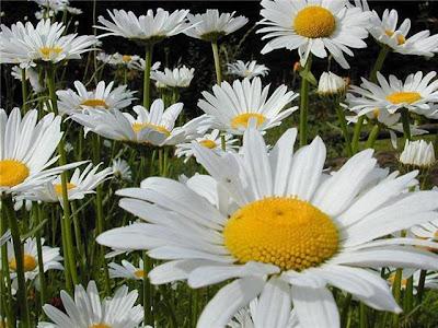 أحلى الألوان من زهور الأقحوان papatya.jpg
