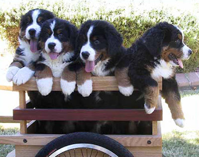 Puppies in Wagons!