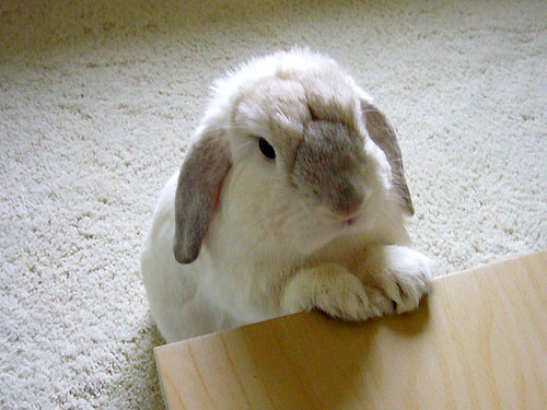 Coniglio che attende di essere servito