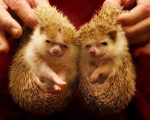 Questi porcospini vi stanno comunicando qualcosa. Cosa?